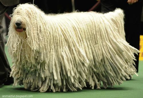 Komondor+Dog+Funny+Pic