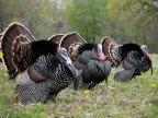 Turkeys are not Turkish